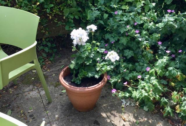 Geranium in flower pot on cottage terrace